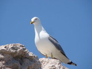 Odrasli galeb klaukavac - više-manje svima dobro poznata ptica!