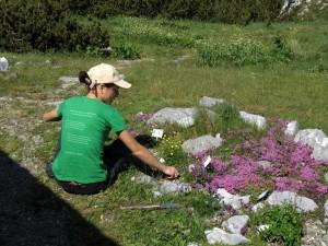 Plijevljenje male kamenjare