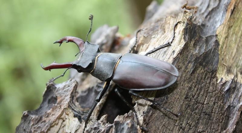 Istraživač kornjaša Žumberka