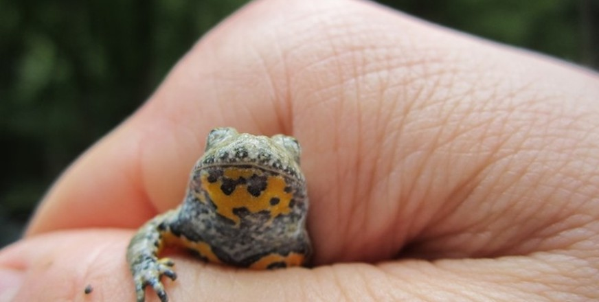 The Explorer of the Amphibians of Medvednica